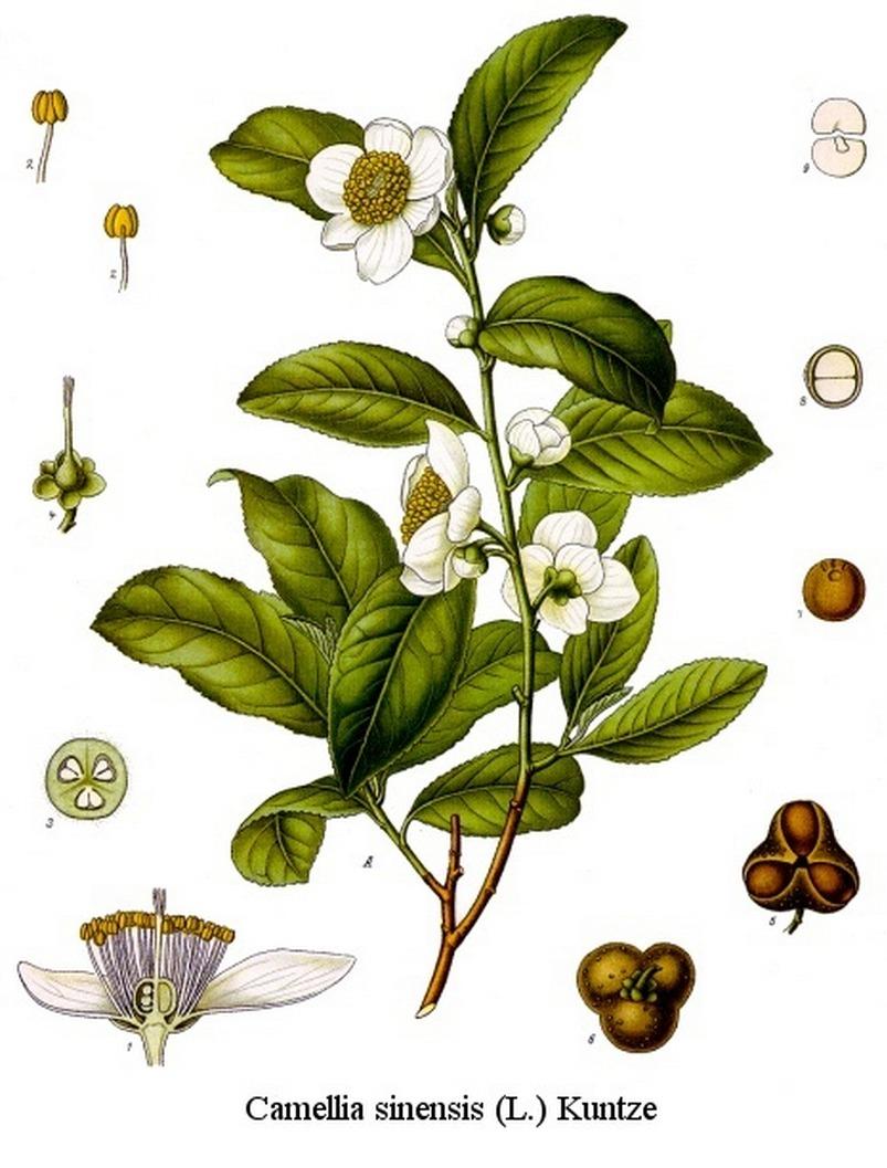 Camellia sinensis (Thea sinensis)