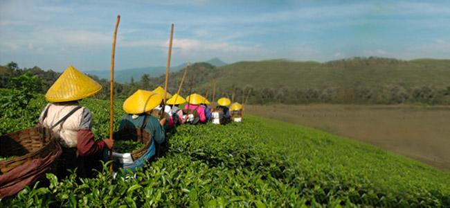 Grüner Tee und seine Geschichte