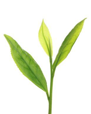 Camellia-Assamica