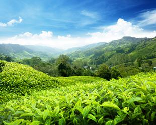 Feld mit Grünem Tee