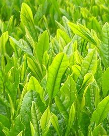 Junge Teeblätter