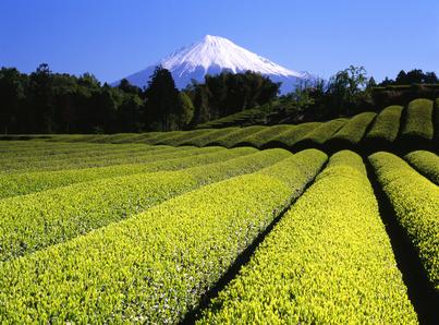 Teefeld mit Berg Fuji