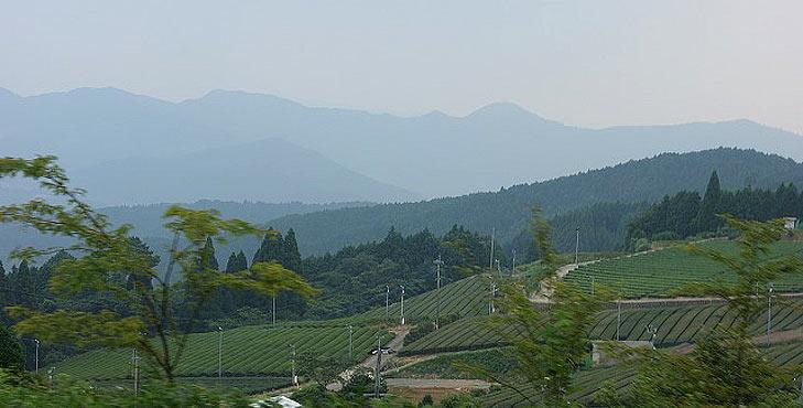 Gyokuro Plantage in Hoshino
