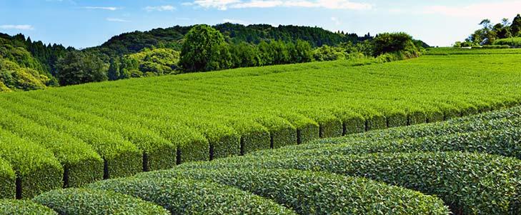 Grünteefeld in Japan