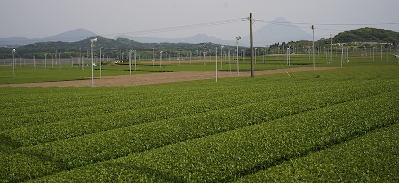 Gut bewirtschaftbare Teefelder im fruchtbaren und milden Süd-Chiran