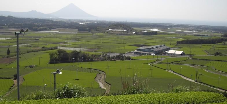 Grüner Tee aus Chiran (Kagoshima)