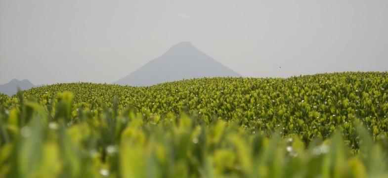 Grüner Tee aus Kagoshima