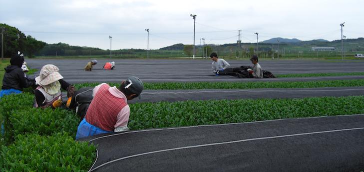 Beschattung von Sencha in Kagoshima kurz vor der Ernte