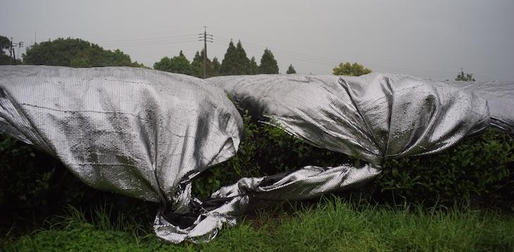 Tencha-Felder für Matcha im Frühlingsregen Kagoshimas