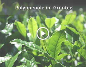 Polyphenole im Grüntee