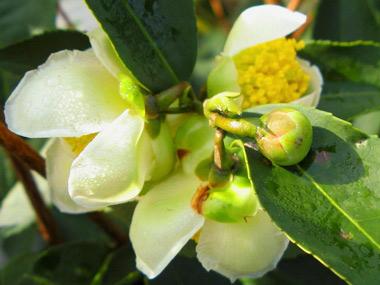 Blüte Camellia Sinensis var. Sinensis