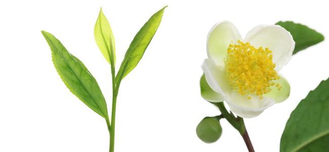Grüner Tee mit Milch, Zucker und Honig?