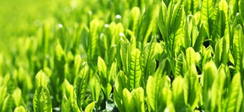 Grüner Tee: Vorsorge & Krankheiten
