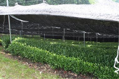 Gyokuro plantação