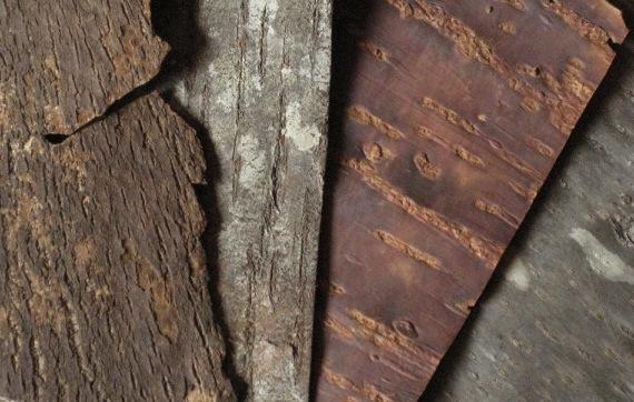 Kirschbaumrinde