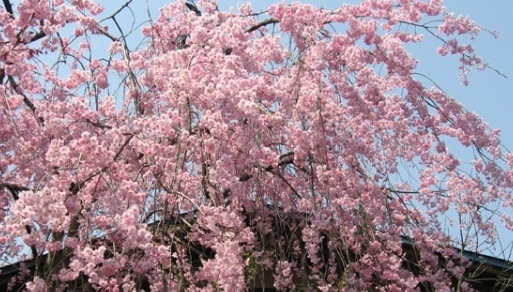 Kirschblüte in Kakunodate