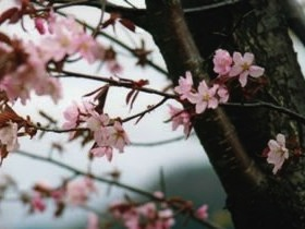 Wildkirsche Sakura Beni