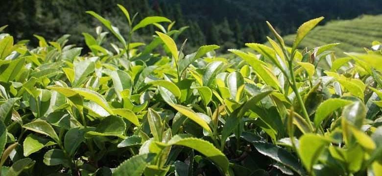 Tee bei Divertikulitis