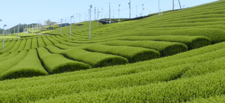 GABA-Teefeld in Shizuoka, Japan