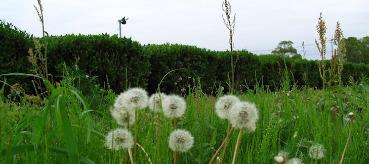 Bio-Grünteefeld mit natürlichen Kräutern in Kagoshima