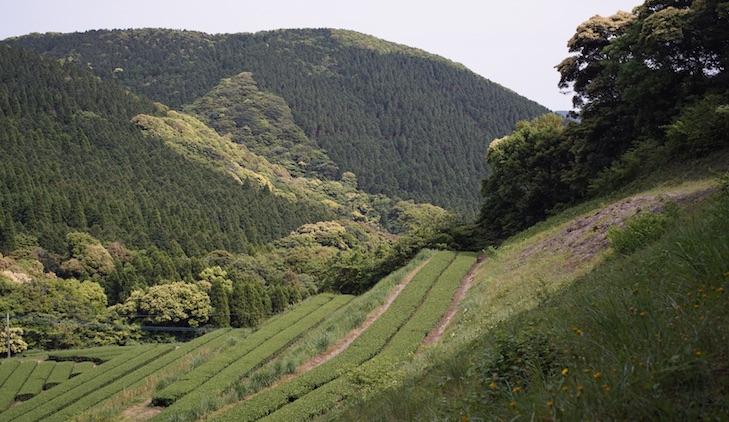 Malerisches Teefeld in den Bergen Nord-Chirans