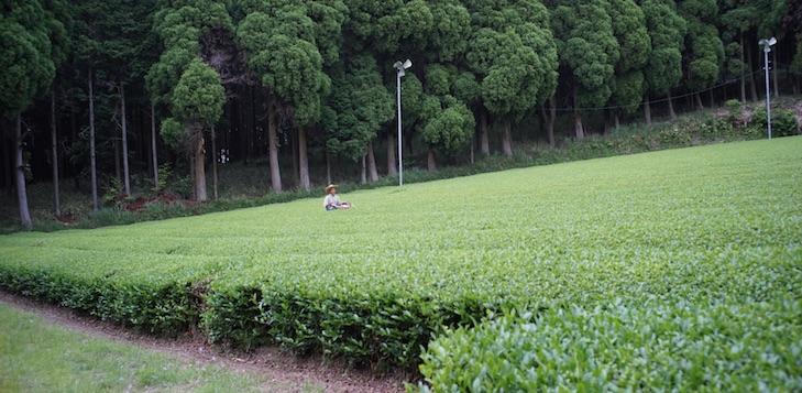 Wunderschönes Teefeld in Nord-Kirishima, umgeben von dichten Bergwäldern