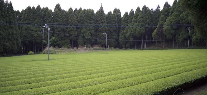 Grüner Tee aus Shibushi (Kagoshima)