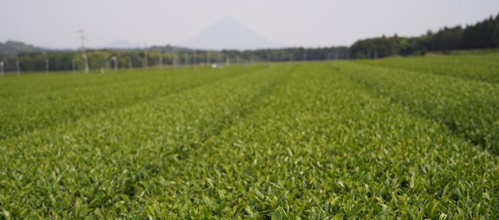 Fruchtbare, gut bewirtschaftbare Teefelder in Süd-Chiran, im  Hintergrund der Mt. Sakurajima